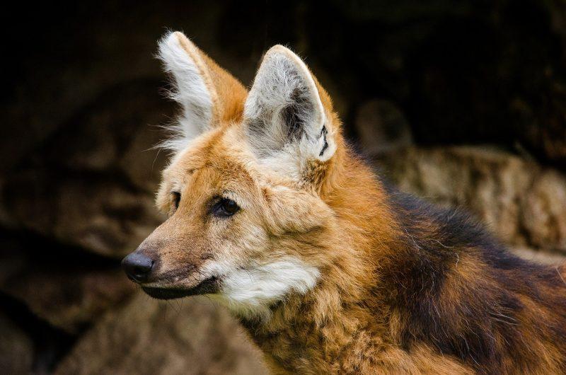 O Banco Central anunciou que o lobo-guará será o animal símbolo da cédula nova nota de R$200. - Foto: Reprodução/Internet